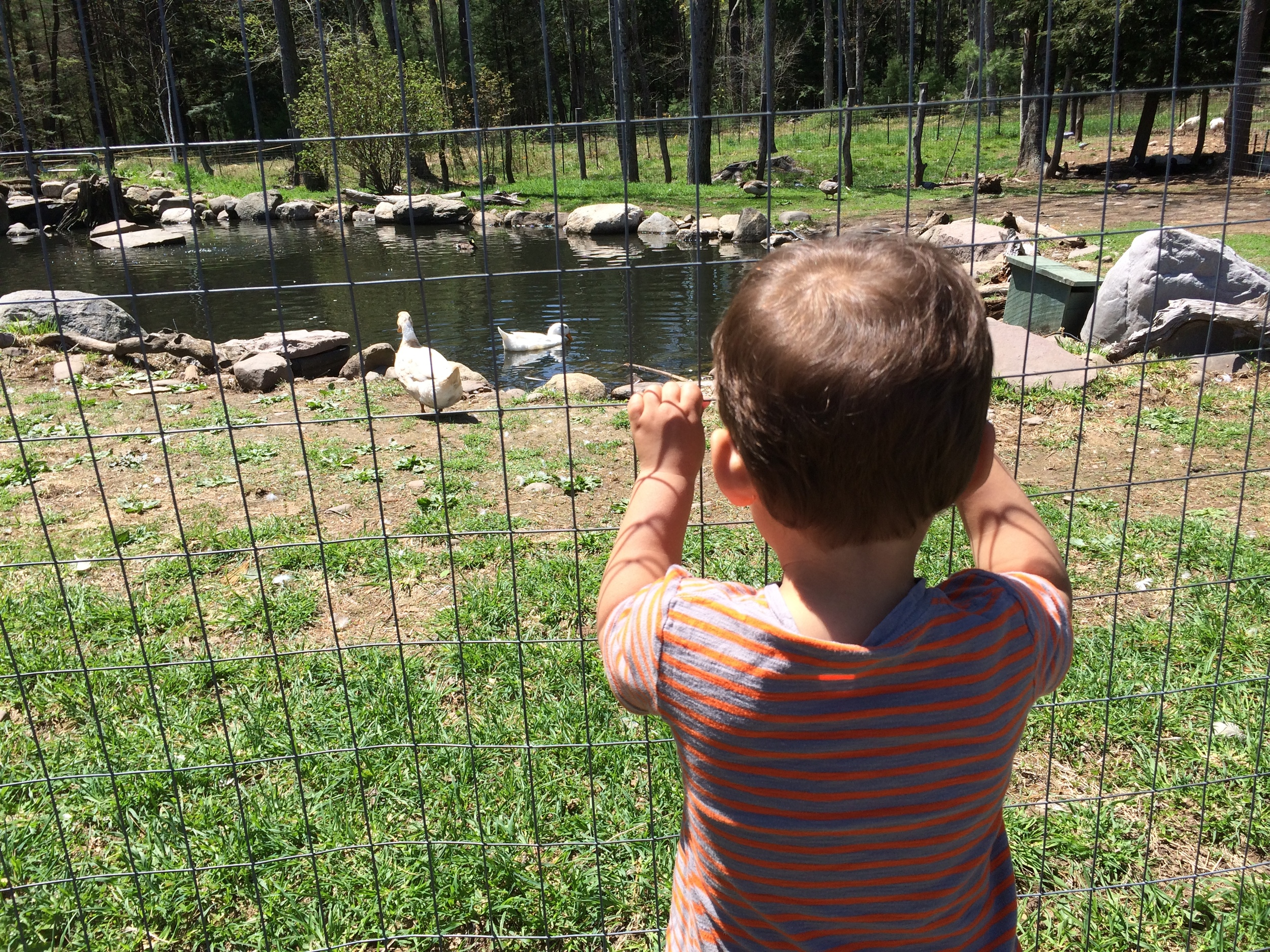 Visiting Quincy, the duck, at WFAS for Milo's 2nd birthday. And it is here that we learned that ducks do NOT like people...