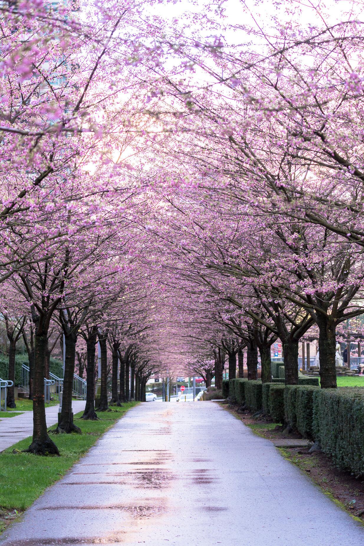 Plum Cherry Blossoms In Vancouver Vanexus Photography Vancouver Landscape Photographers