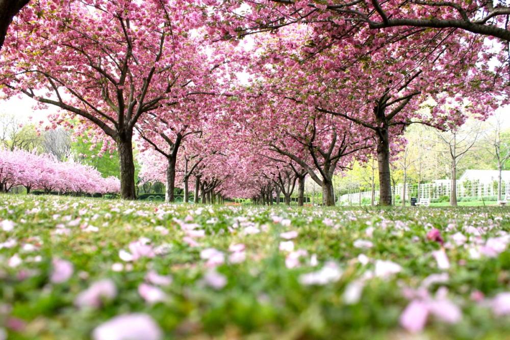 Cherry-Blossoms-1000x666.jpg