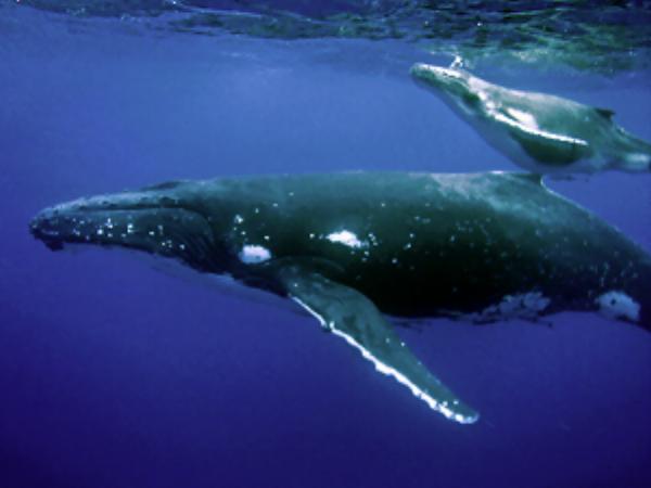 entry-91-humpbackwhalemotherandcalf.png