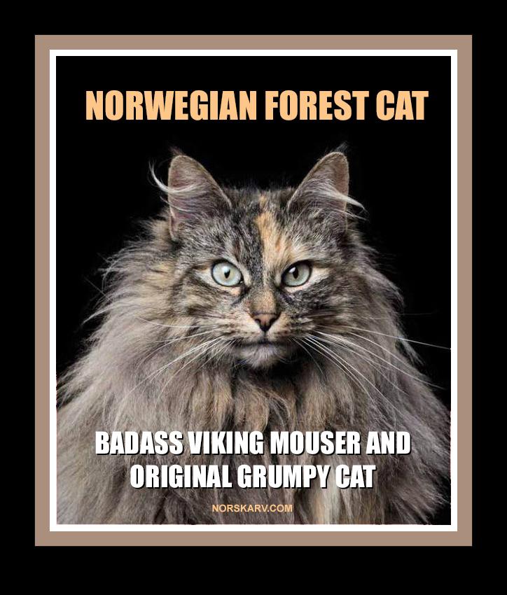 norwegian forest cat meme badass viking mouser and original grumpy cat alt for norge norway norskarv