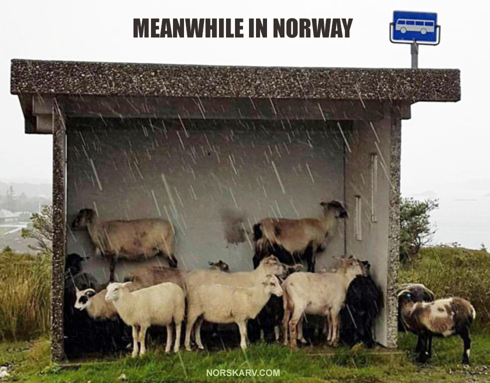 meanwhile in norway meme sheep bus stop norwegian norskarv al for norge fun funny humor humorous wild crazy