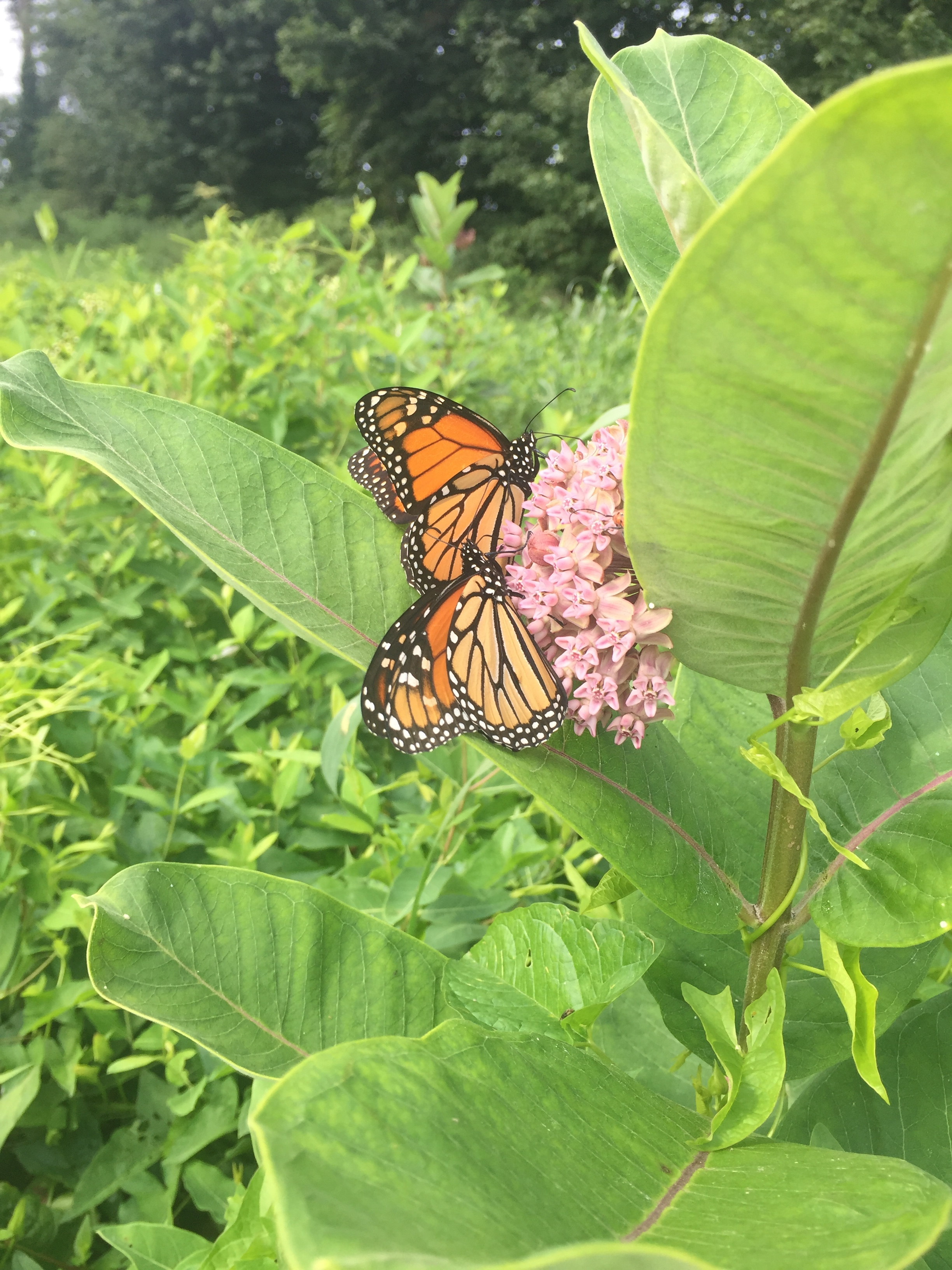Milkweed/monarch