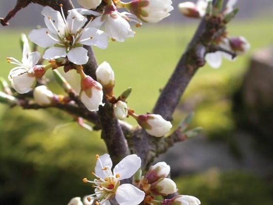 blackthorn-blossom.jpg
