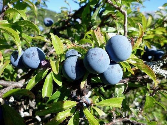 prunus-spinosa-fruit-sloe.jpg