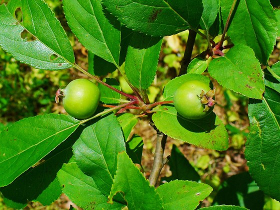 crab apple-malus-sylvestris-fruit.jpg