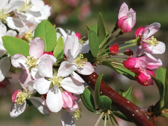 crab-apple-blossom2.jpg