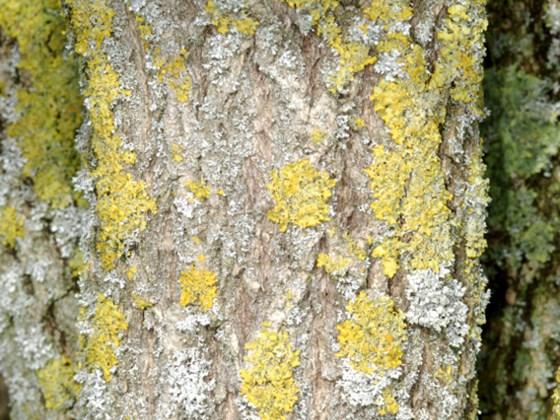 elder-bark.jpg