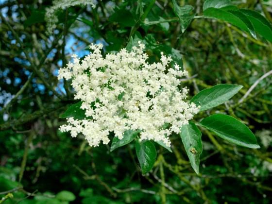 elder-flowers.jpg