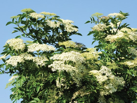 elder tree.jpg