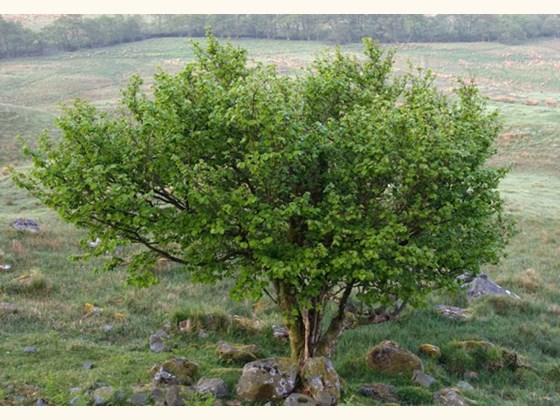 hazel-full-tree.jpg