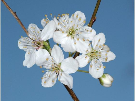 cherry-plum-flower.jpg