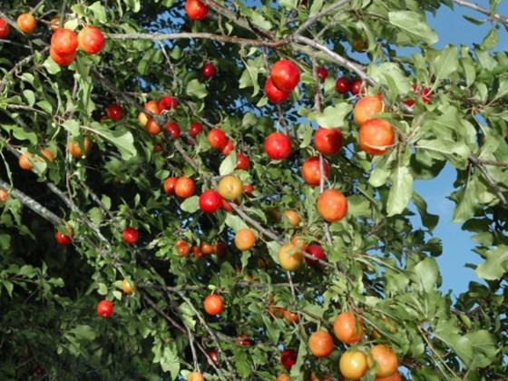 cherry-plum-fruit.jpg
