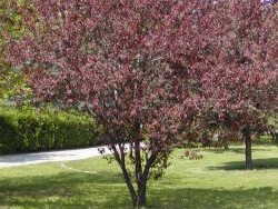 cherry-plum-tree 3.jpg