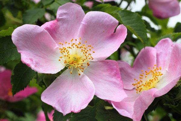 dog-rose-blossom.jpg