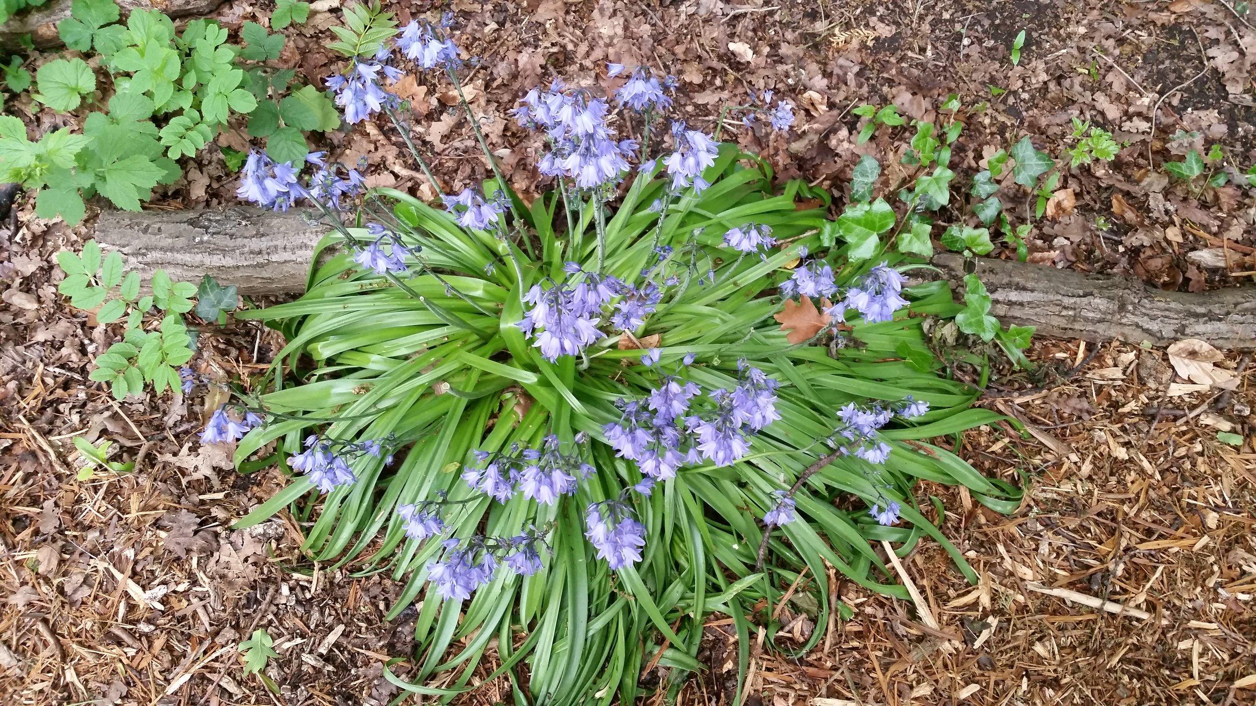 Martineau_garden_bluebells.jpg