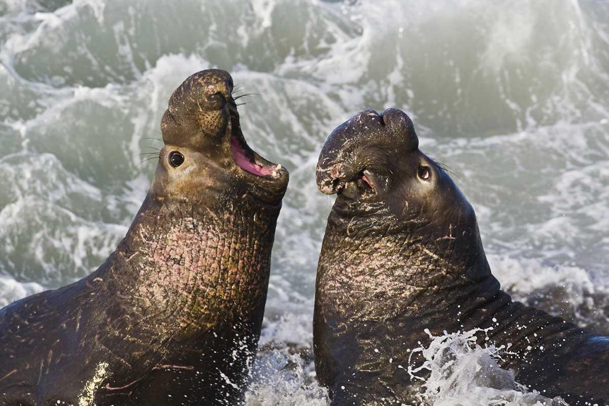 Bakjac seals talking.jpg