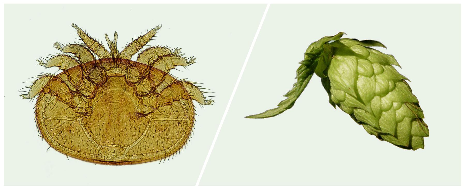 Left, a varroa mite. Right, a hop flower.