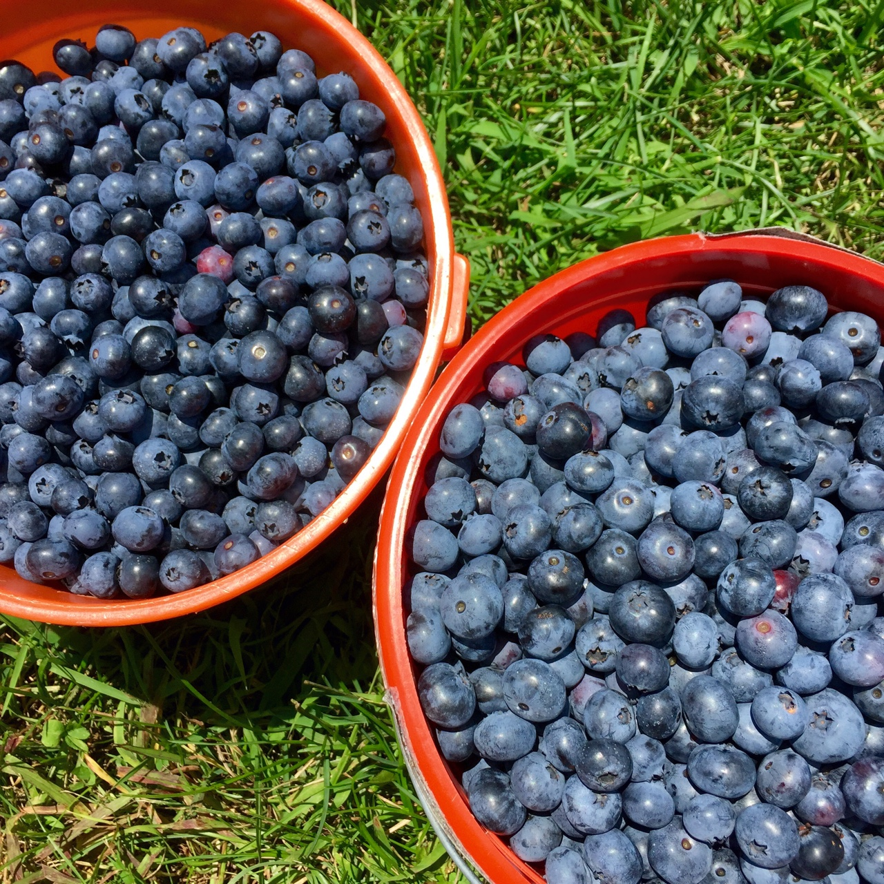 Summer Berry Picking