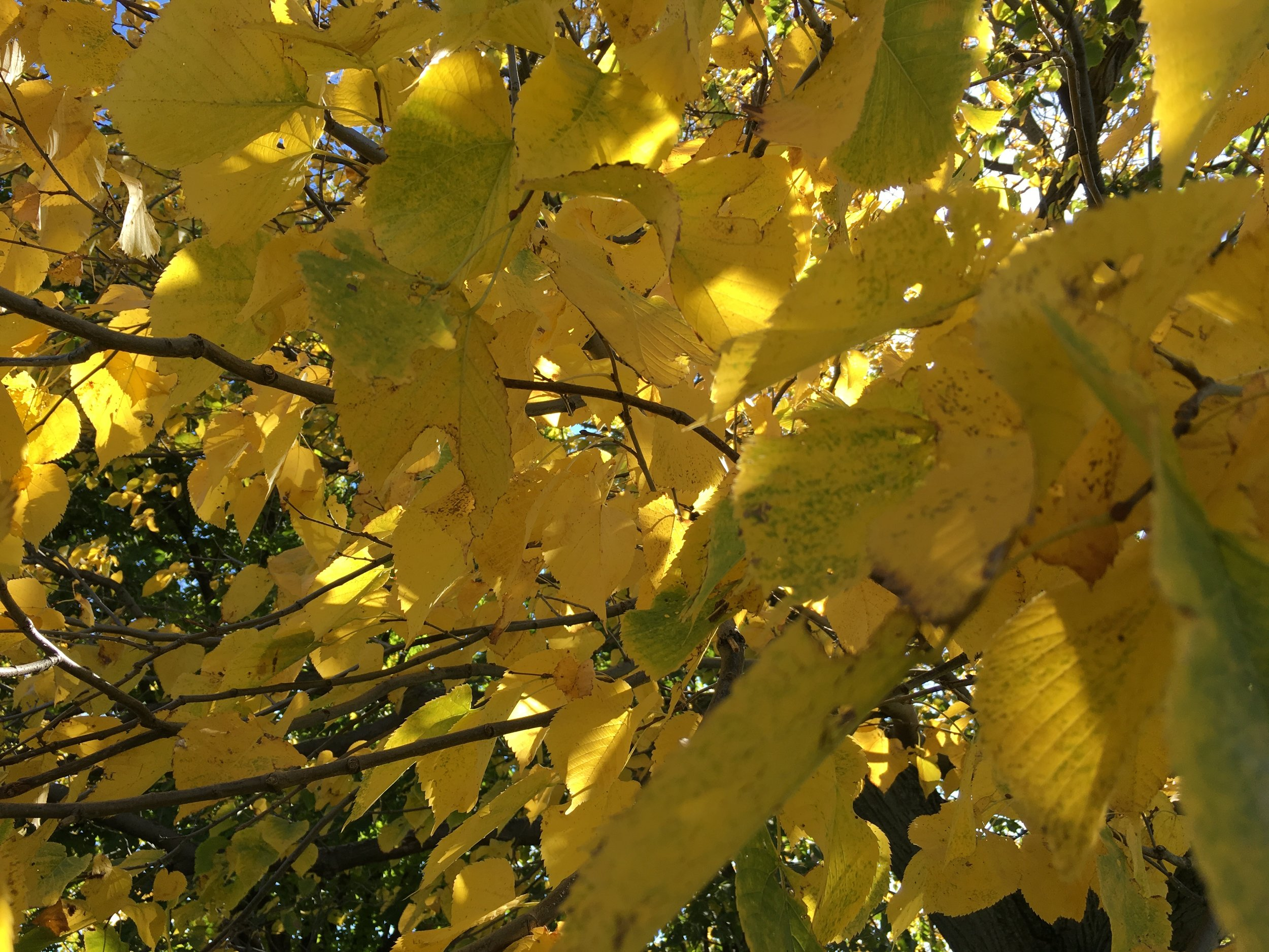 They call me Mellow Yellow...just kidding, I'm as anxious as they come, but aren't these leaves pretty?!