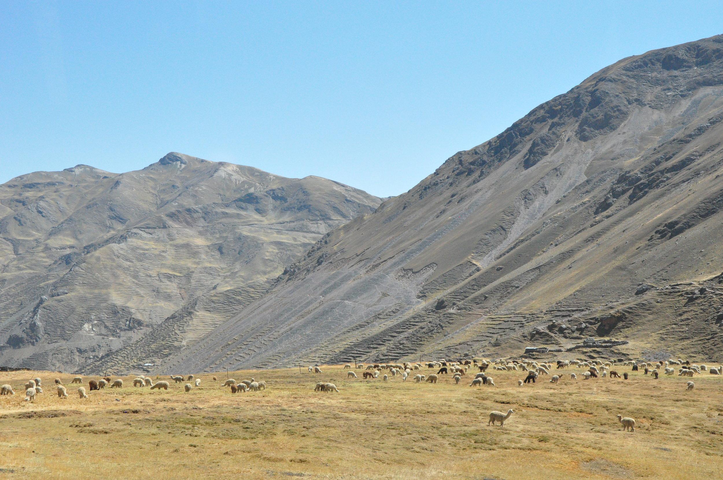 Alpaca herd.  Alpacas live at higher altitudes than llamas.