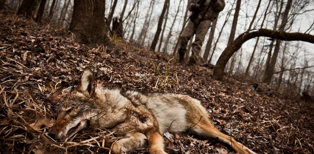 CRITICAL COYOTE HUNTING TECHNIQUES    Coyotes are widespread and highly adaptable predators, and in many areas coyotes feed heavily on deer and other game species. One of the best ways that you, as a hunter, can help preserve wild game is to reduce predator populations. Coyotes can offer a challenging hunt after deer season has ended.