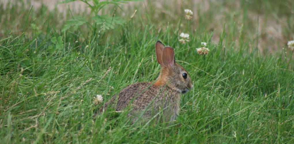 cottontail-rabbit-in-clover-1020x500.jpg