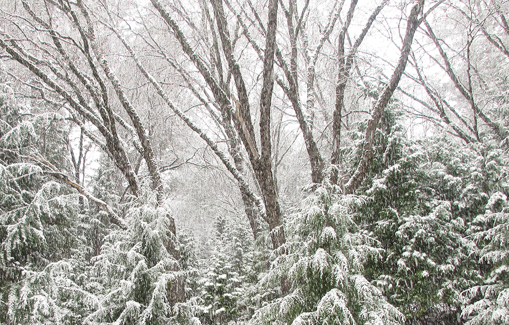 Trees covered in fresh snowfall