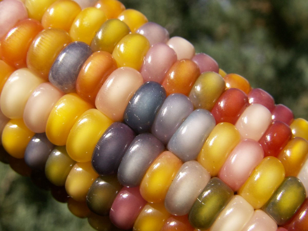 the-glass-gem-facebook-page-is-filled-with-photos-from-people-who-have-planted-and-harvested-their-own-glass-gem-corn.jpg