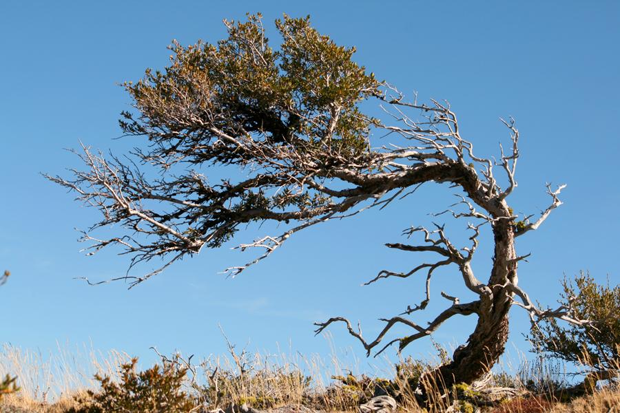 mountain-mahogany.jpg