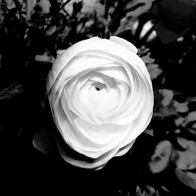 Remember to look down. Ranunculus #texture #light #line #flora #floral #ranuculus #beauty #nature #naturephotography