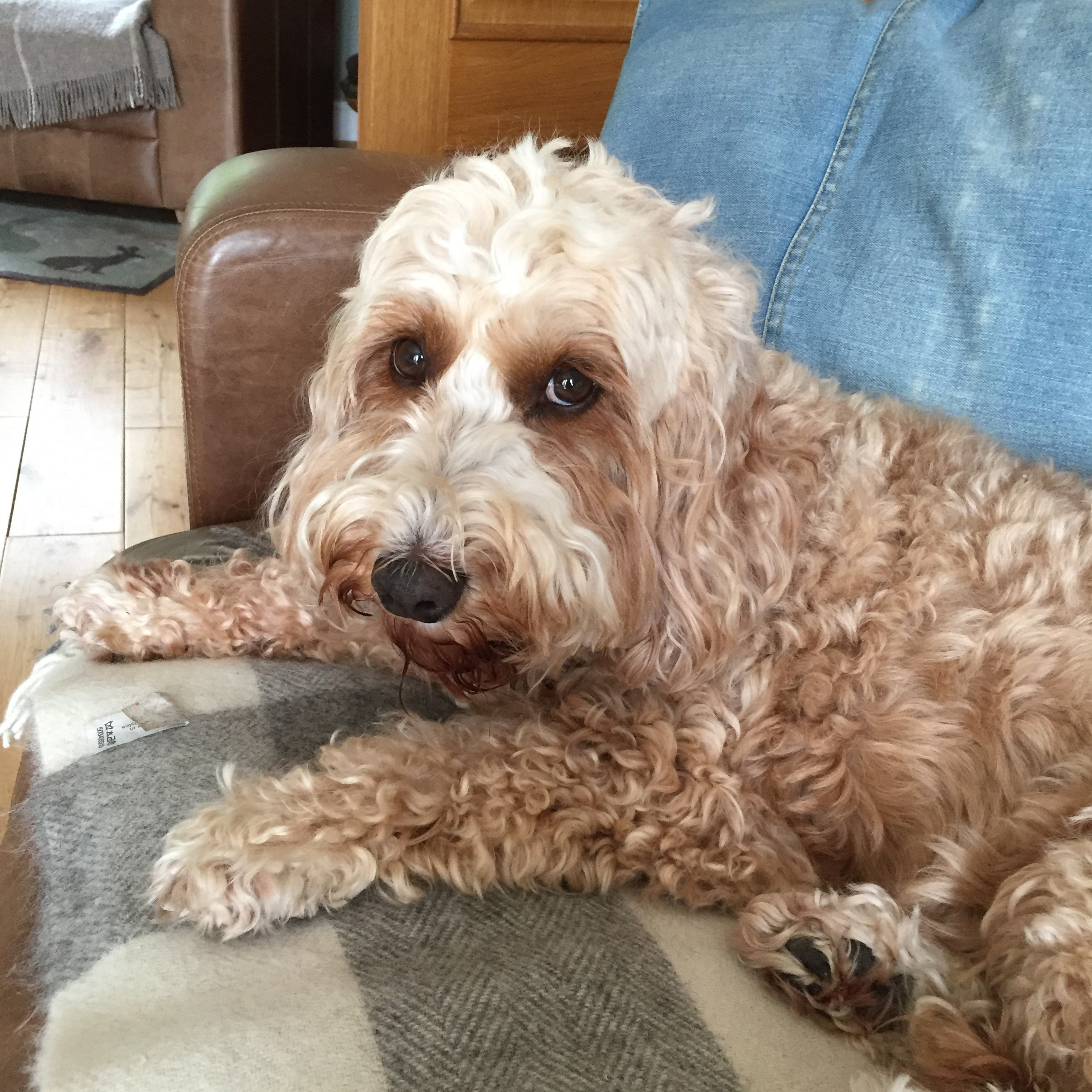 COCKAPOO RUBY  -