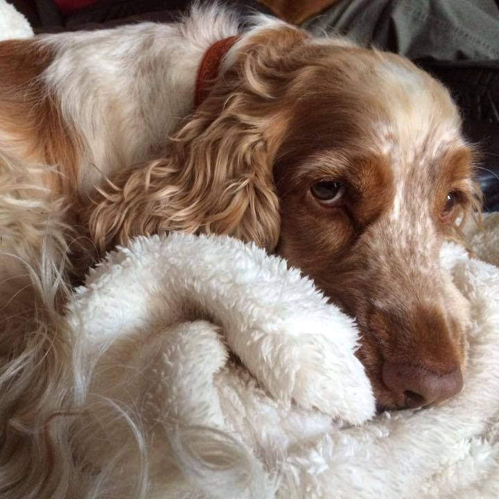 cOCKER SPANIEL TILLY -