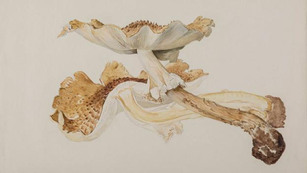 Watercolour - lepiota friesii, Beatrix Potter