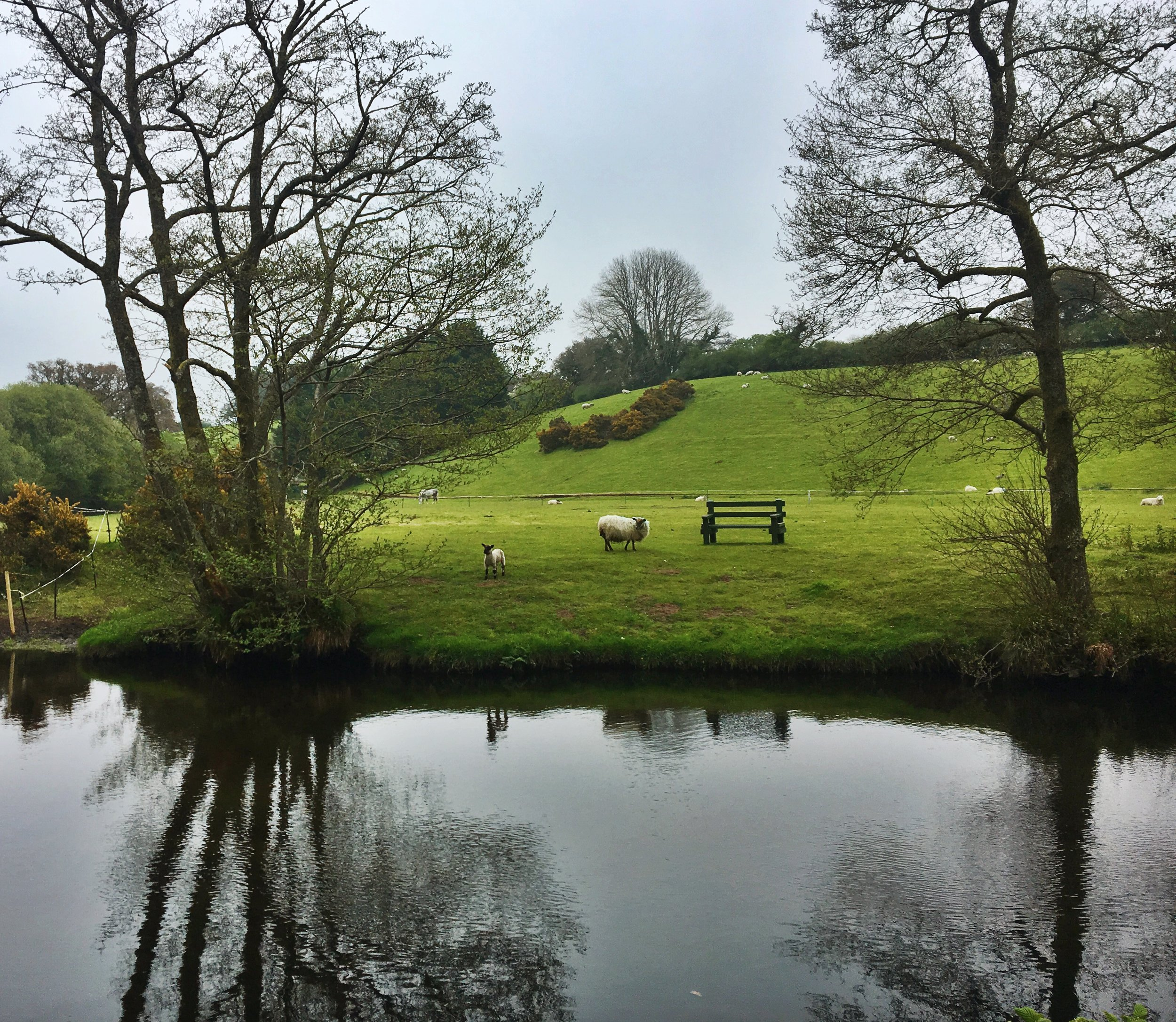 Hello! Lambs across the river near Chagford, May 2017