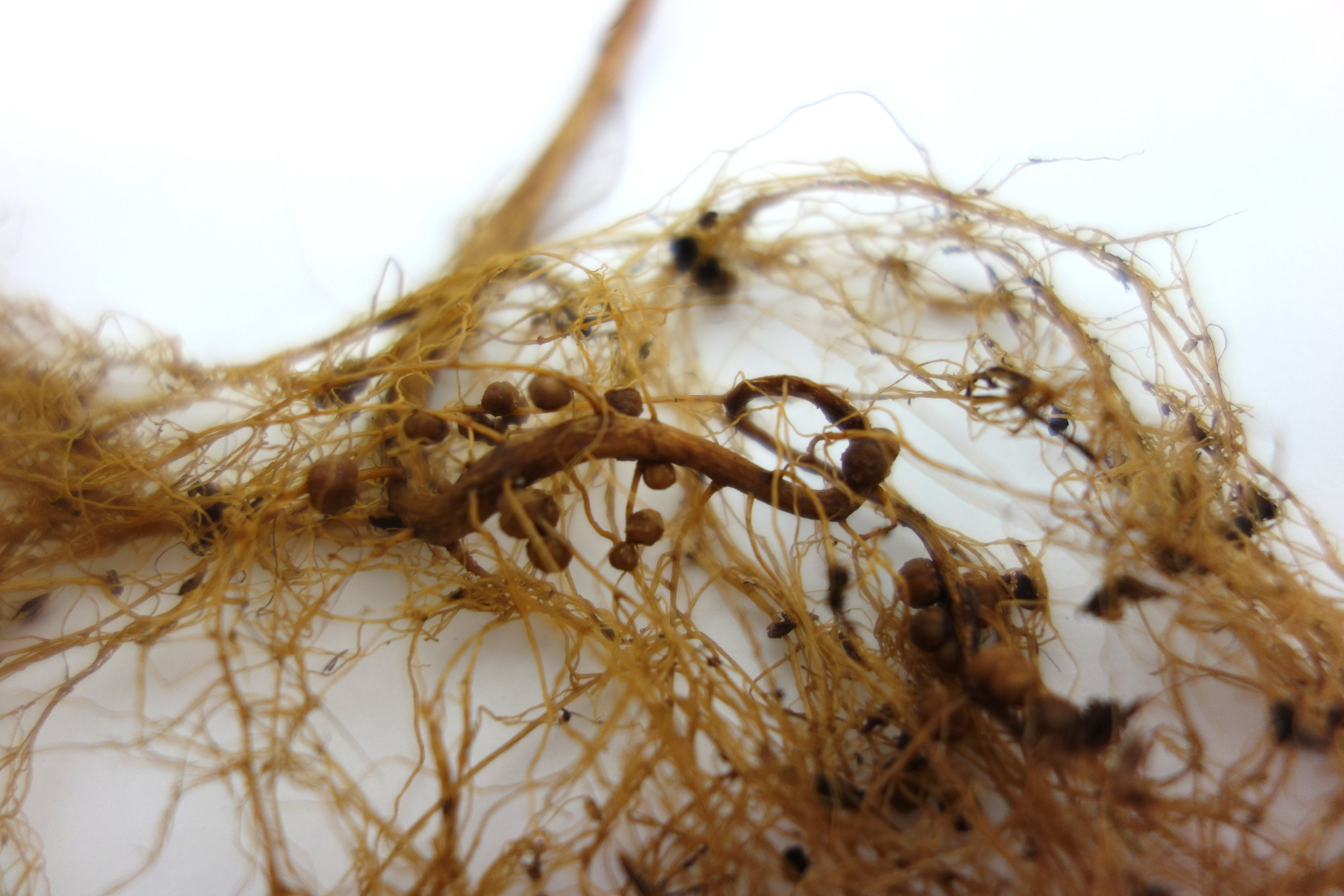 Root nodules of leguminous plants