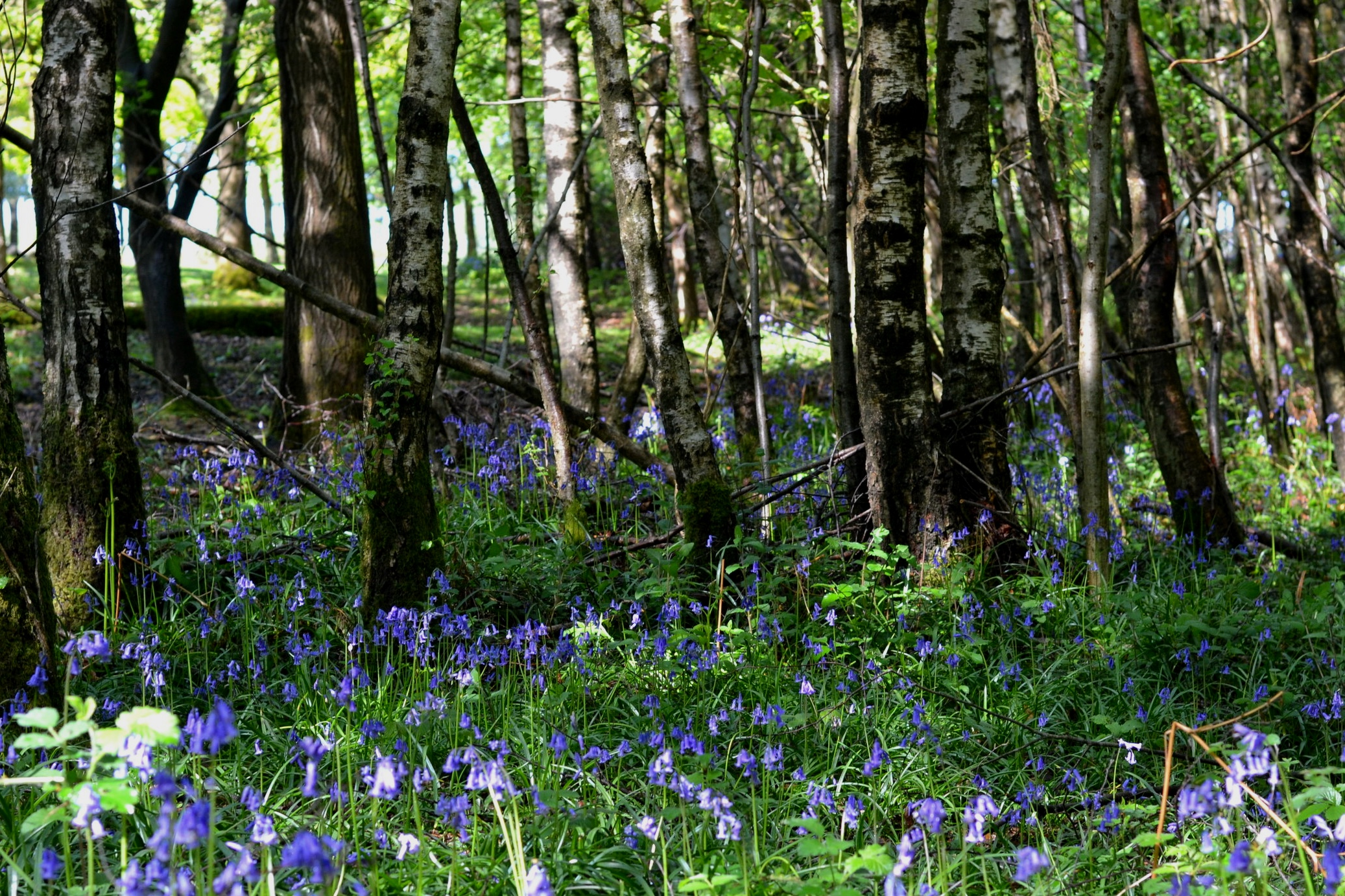 Bluebells, Woodland, Royal Tunbridge Wells, May 2019