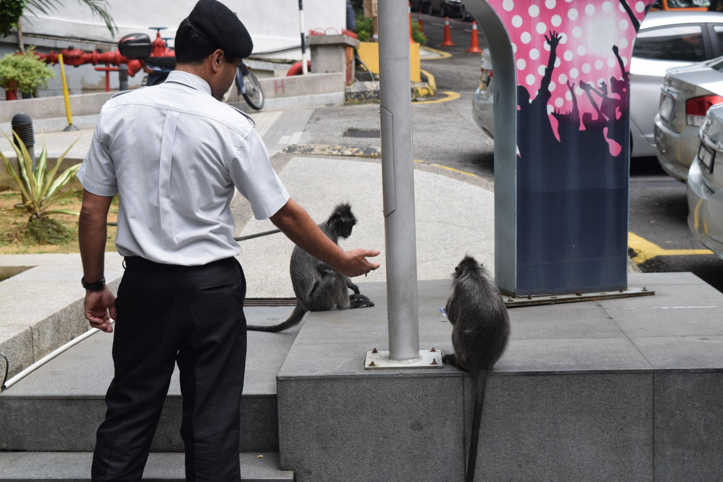 A Kuala Lumpur, capitale della Malesia, non è difficile imbattersi in testardi scimmiettine ladre. Eccone qui una, beccata da una guardia la quale sta esigendo indietro un busta di plastica.