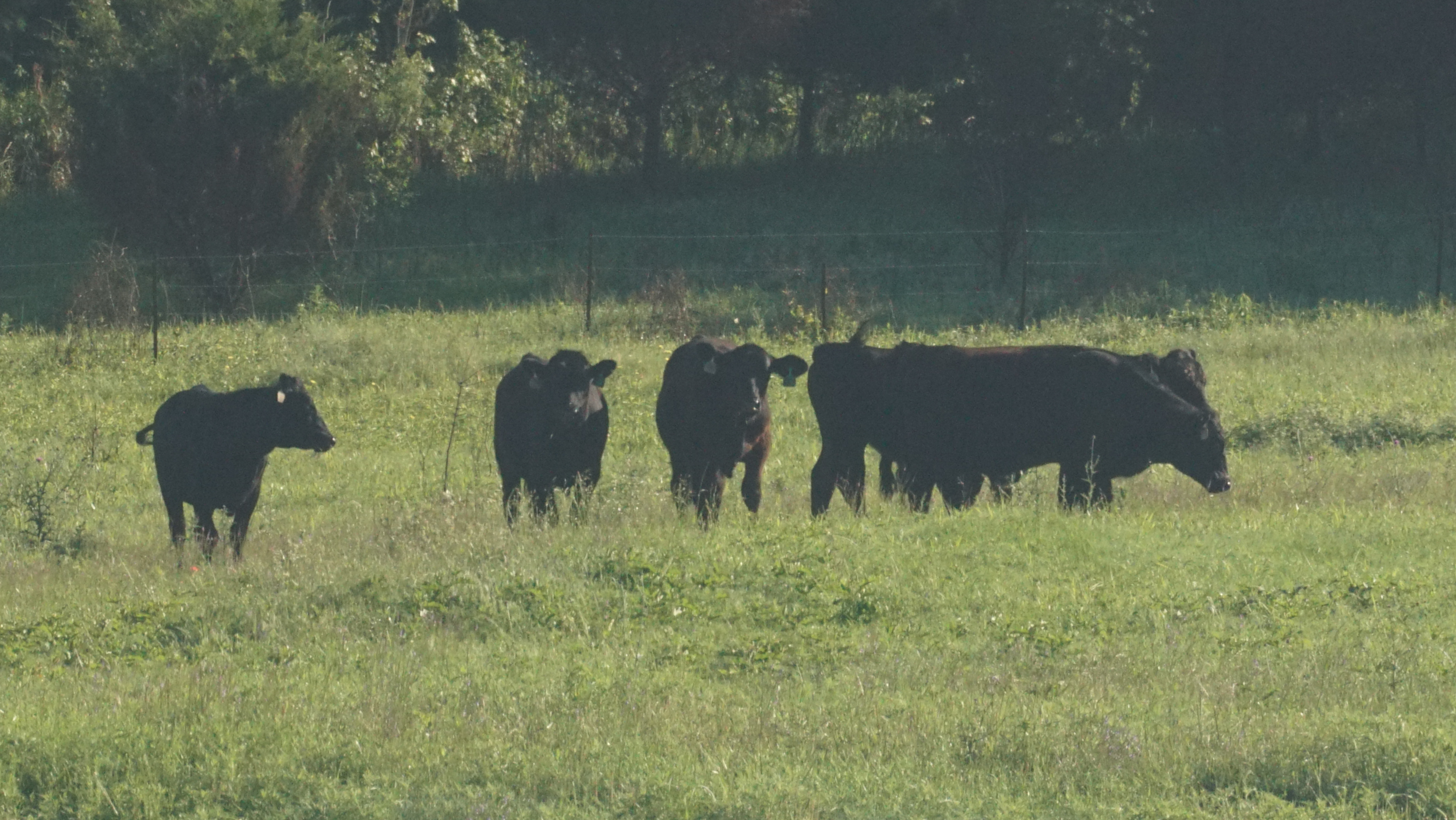cropped cows.png