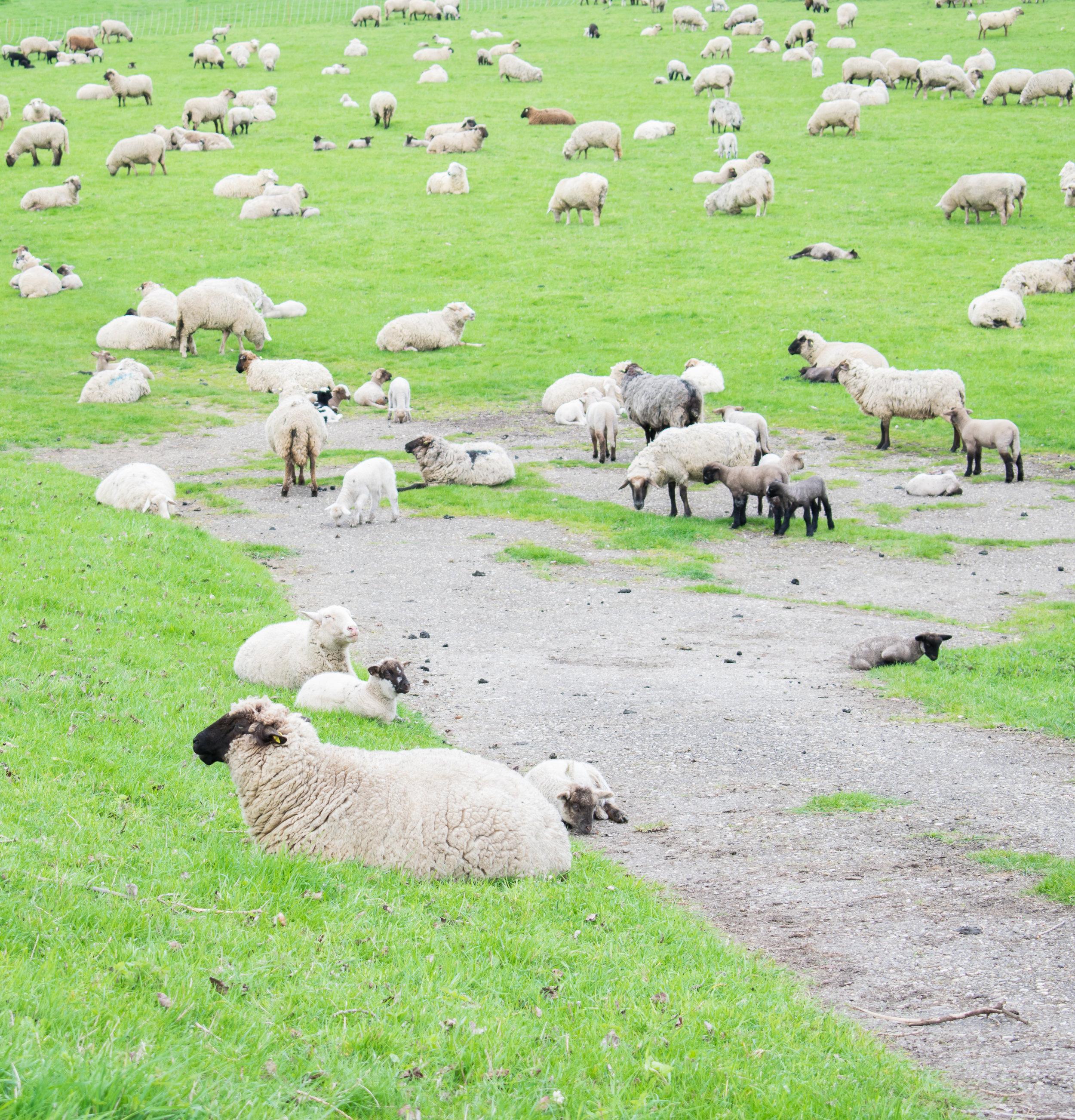 Oberkassel-Sheep-Dusseldorf-Brown-Leather-Book-16.jpg