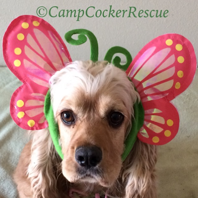 cocker spaniel dogs for adoption