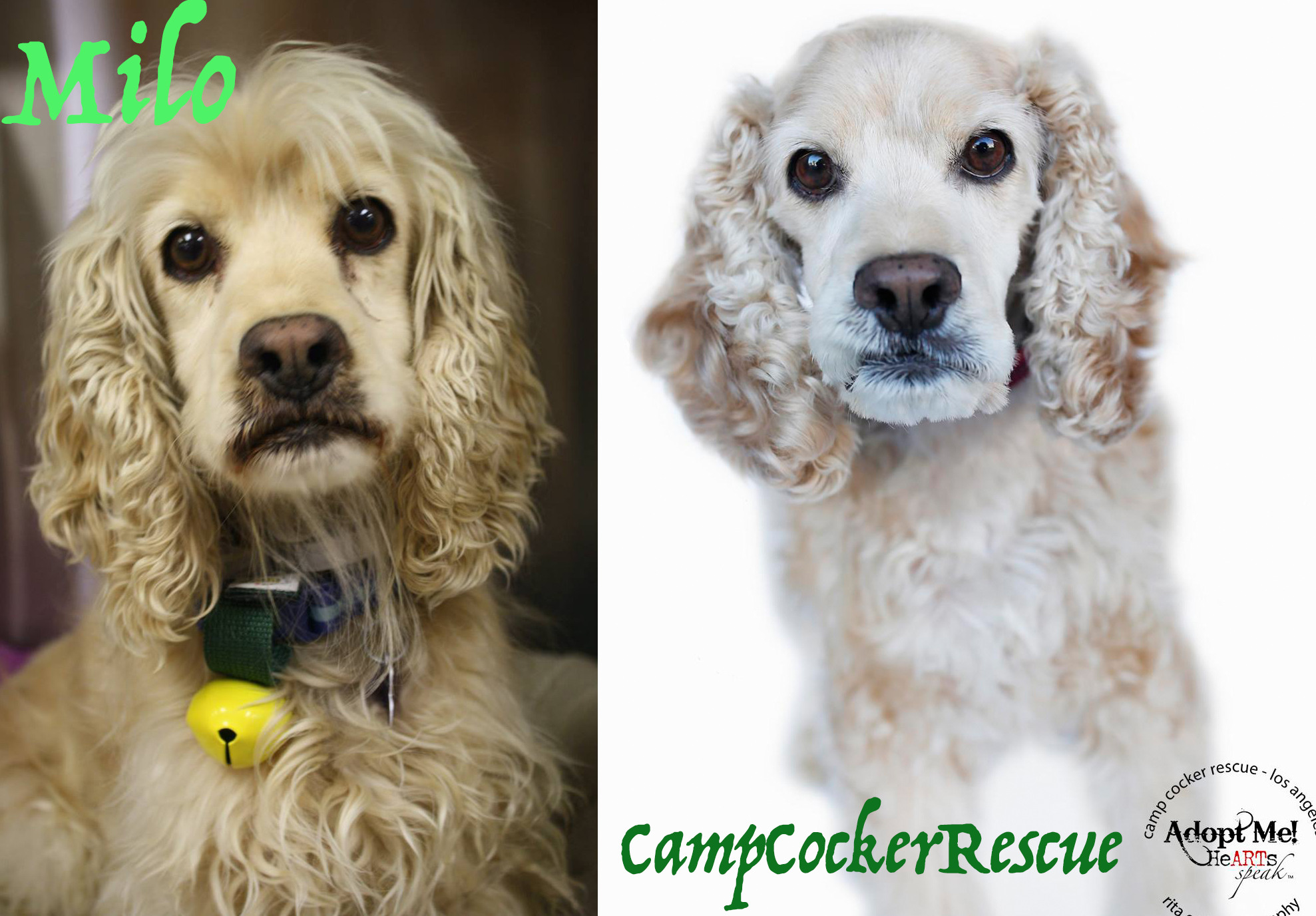 small dogs for adoption cocker spaniel
