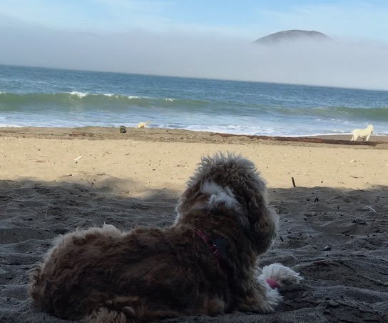 cocker spaniel beach