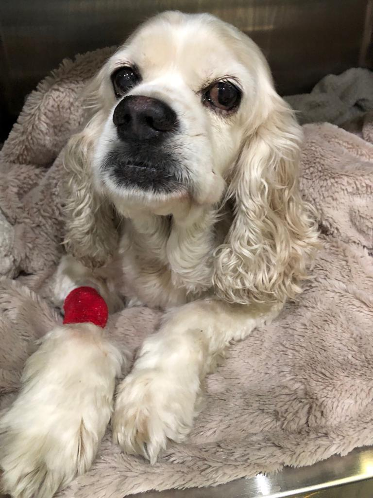 Cocker Spaniel Rescue Dog Daphne