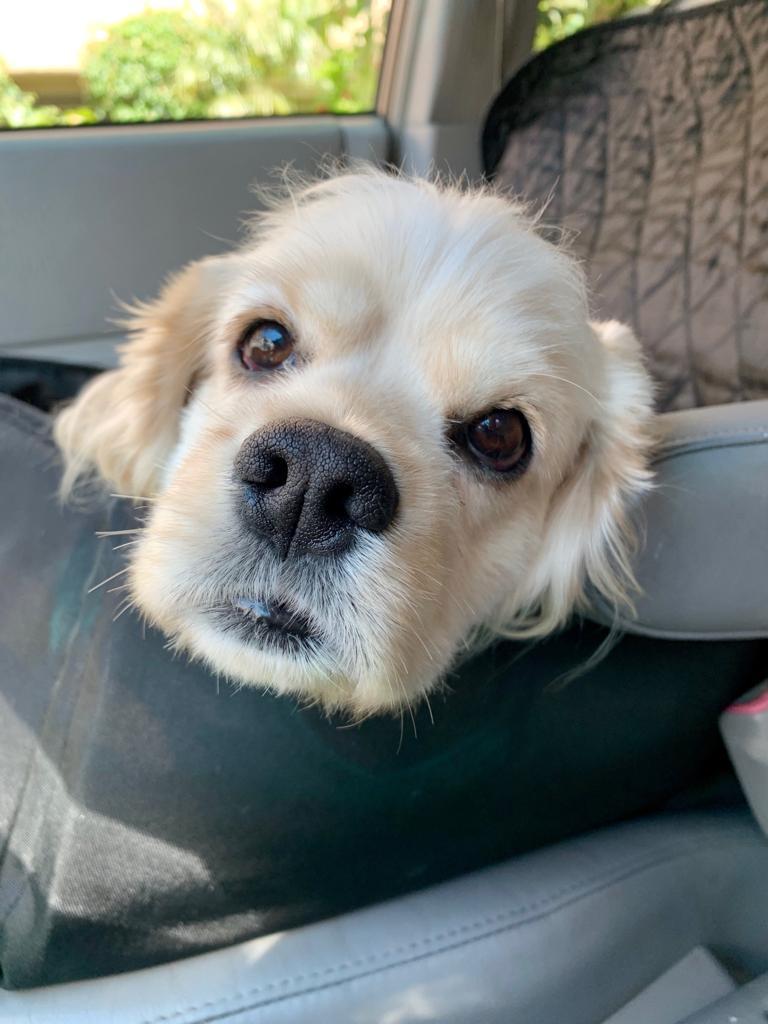 Dogs For Adoption - Cocker Spaniel Girl