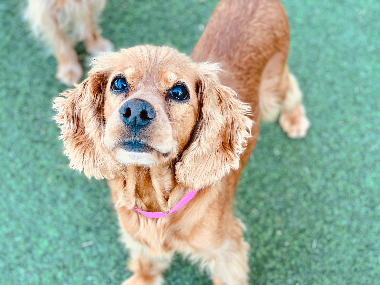 Dogs For Adoption Er Spaniel