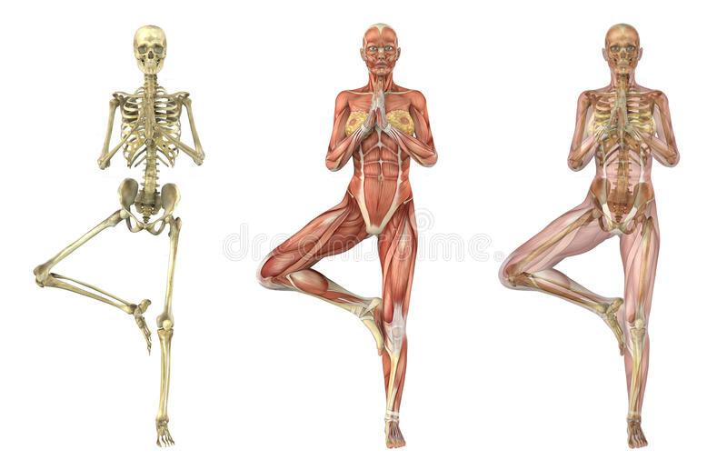 yoga-tree-pose-anatomical-overlays-21452978.jpg