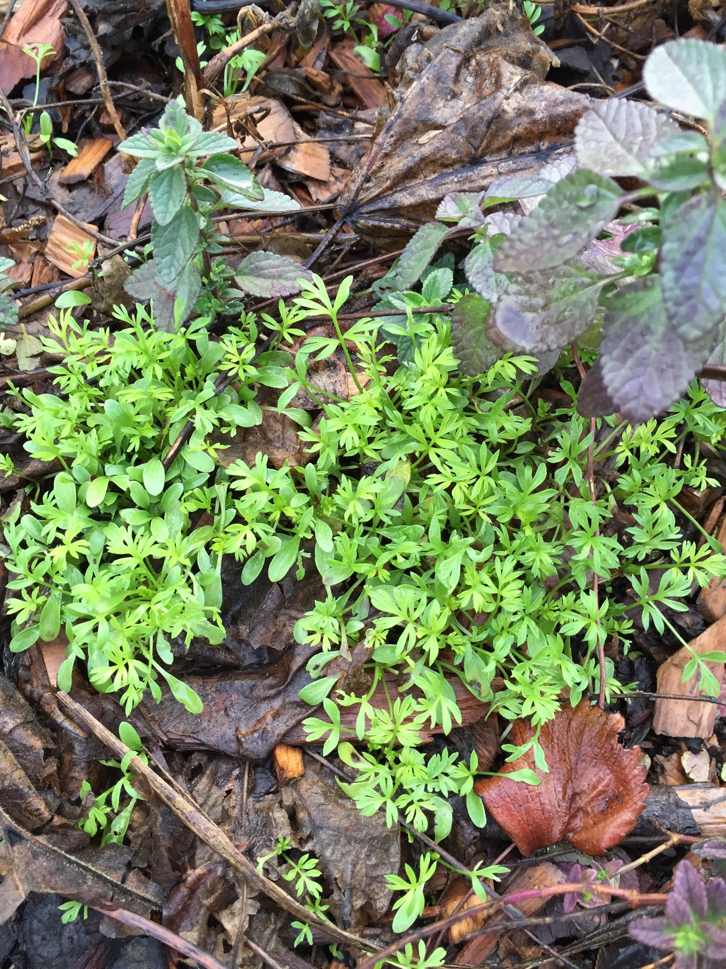 Annual wildflower seedlings