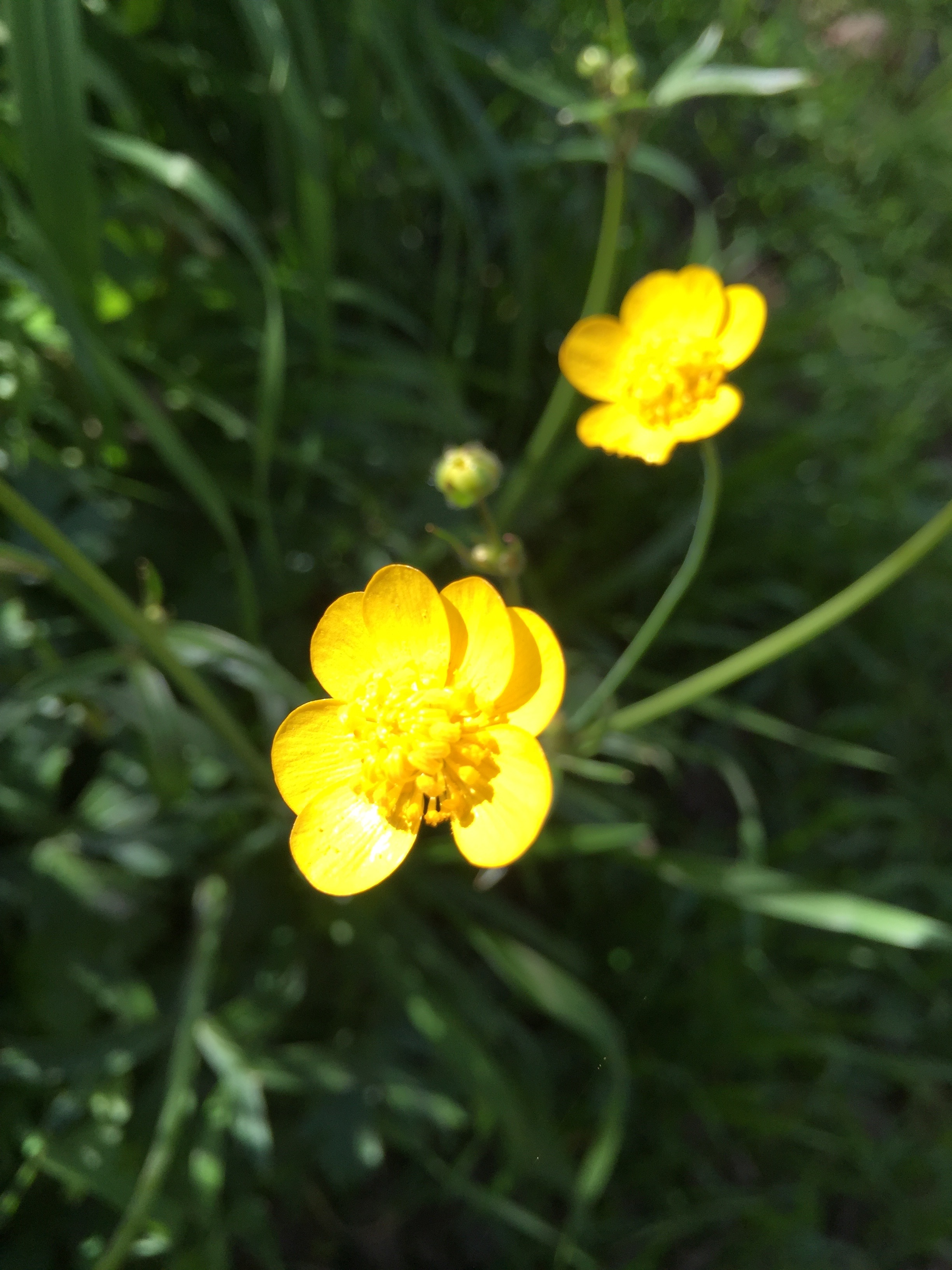 My first Buttercup sighting of the year, on a local trail
