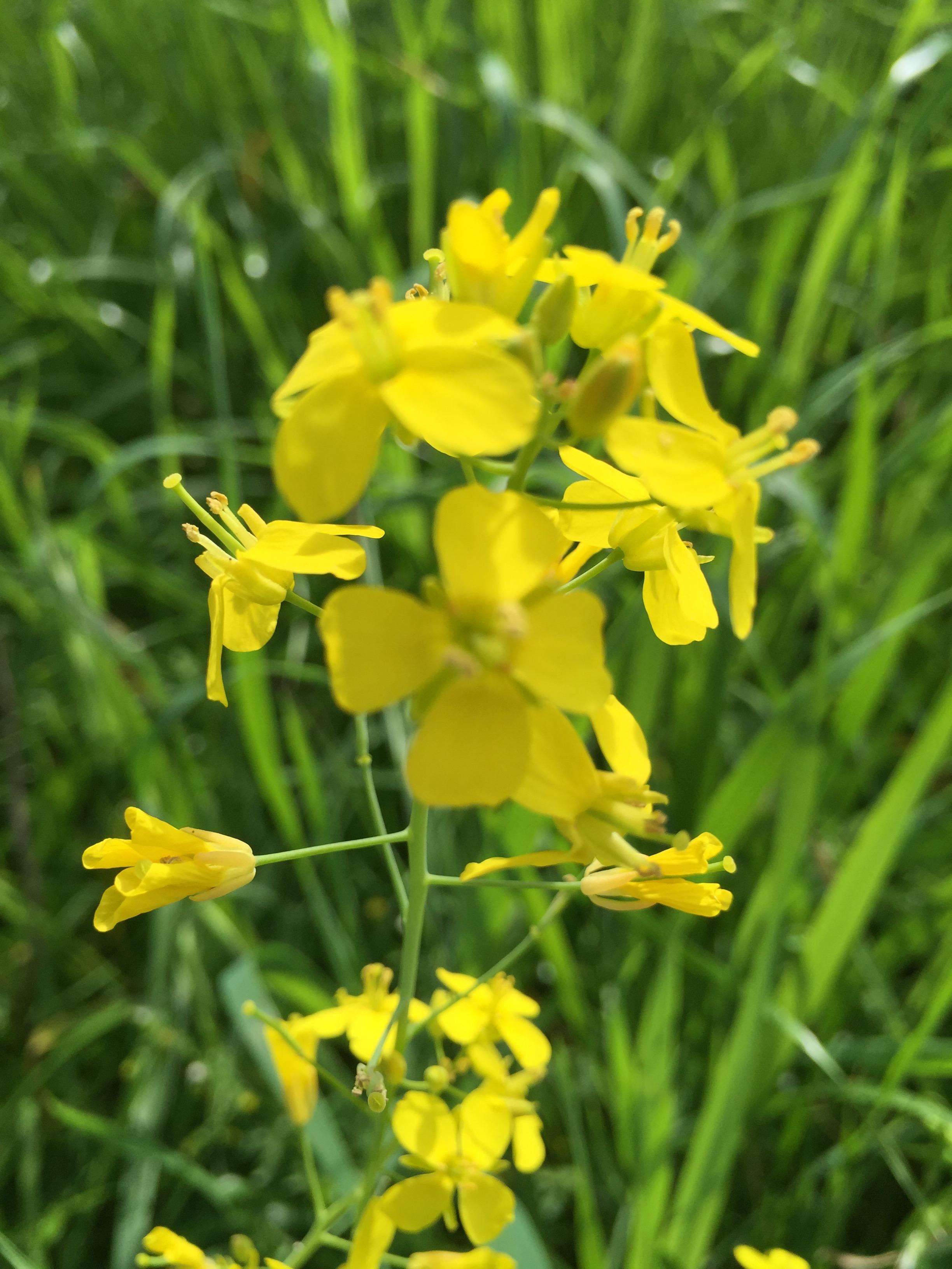 Wild Mustard in the hills.